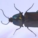 Faurul (Campsosternus auratus)