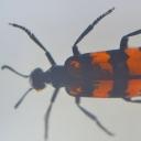 Gândacul-zebră (Milabrys sp.)
