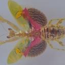 Călugărița de flori (Creobroter gemmatus)