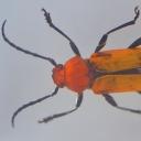 Croitorul roșu (Erythrus championi)
