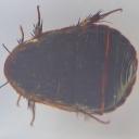 Gândacul-de-deșert chinezesc (Eupolyphaga sinensis)
