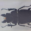 Rădașca-fantomă (Odontolabis siva)