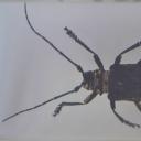 Croitorul cenușiu (Aegomorphus claivipes)