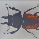 Rădașca asiatică (Odontolabis femoralis)