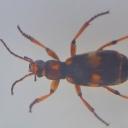 Mamornicul-punctat chinez (Mylabris axillaris)