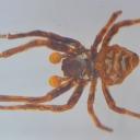 Păianjenul țesător (Araneus sp.)