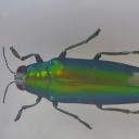 Gândacul-bijuterie malaysian (Chrysochroa fulminans)