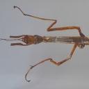 Insecta-băț orientală (Phraortes illepidus)