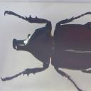 Gândacul-rinocer (Xylotrupes sp.)