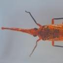 Cicada-cu-felinar asiatică (Pyrops cf. candelaria)