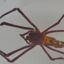 Păianjenul de aur (Nephila sp.)