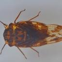 Cireșarul-brun (Pycna cf. repanda)