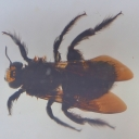 Albina-dulgher (Xylocopa cf. nasalis)