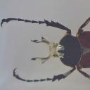 Ileana cu coarne (Dicronocephalus cf. shimomurai)