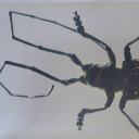 Croitorul asiatic (Anoplophora glabripennis)