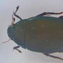 Boul-de-baltă asiatic (Hydrophilidae)