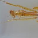 Călugărița-chineză (Mantidae)
