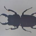 Rădașca uriașă (Dorcus titanus)