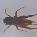 Greierul asiatic (Teleogryllus emma)