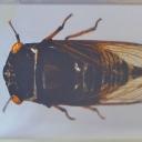 Cicada neagră tropicală (Cryptotympana sp.)