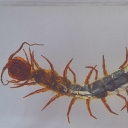 Cârcăiacul vietnamez (Scolopendra cf. subspinipes)