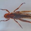Lăcusta migratoare (Locusta migratoria)