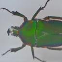 Cărăbușul oriental (Trigonophorus sp.)