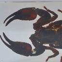 Scorpionul-gigant (Heterometrus sp.)