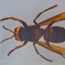 Viespea-gigant (Vespa sp.)